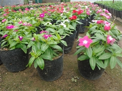 Hoa dừa thái